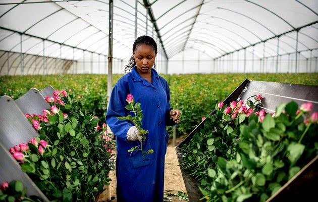 Год испытаний для Кенийского бизнеса по выращиванию роз