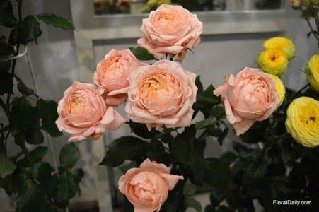 Розы Julieta Cerise