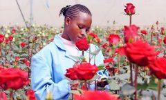 Кенийские цветочные фермы стремятся получить статус особых зон