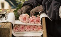 Парфюмерная компания компенсирует двуокись углерода, которую производит Кенийская ферма по выращиванию роз Тамбузи (Tambuzi)