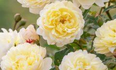 Новый сорт розы назван в честь основателя Национальной службы здравоохранения Великобритании