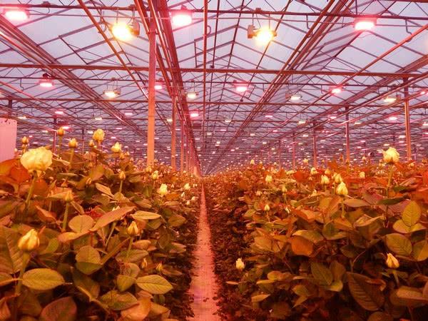 Украинский производитель роз увеличивает урожай благодаря светодиодному освещению с водяным охлаждением