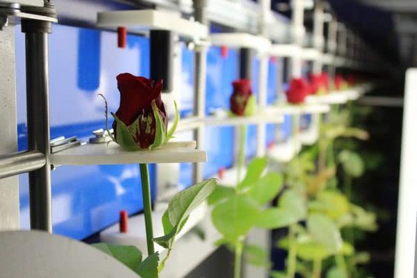 Новая машина для сортировки и пакетирования роз