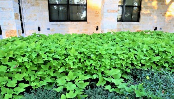 США: декоративный сладкий картофель назван новейшей суперзвездой Техаса - 2