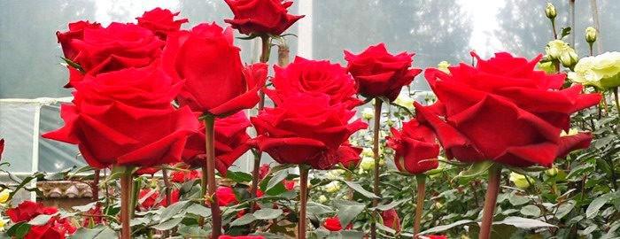 Звездный час для кустовых роз с длинным стеблем - 2