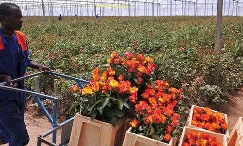 Кенийские производители цветов переходят на солнечную энергию - 2